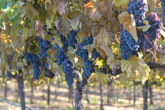 ワイン・カントリークラブの果樹園、カリフォルニア、アメリカ