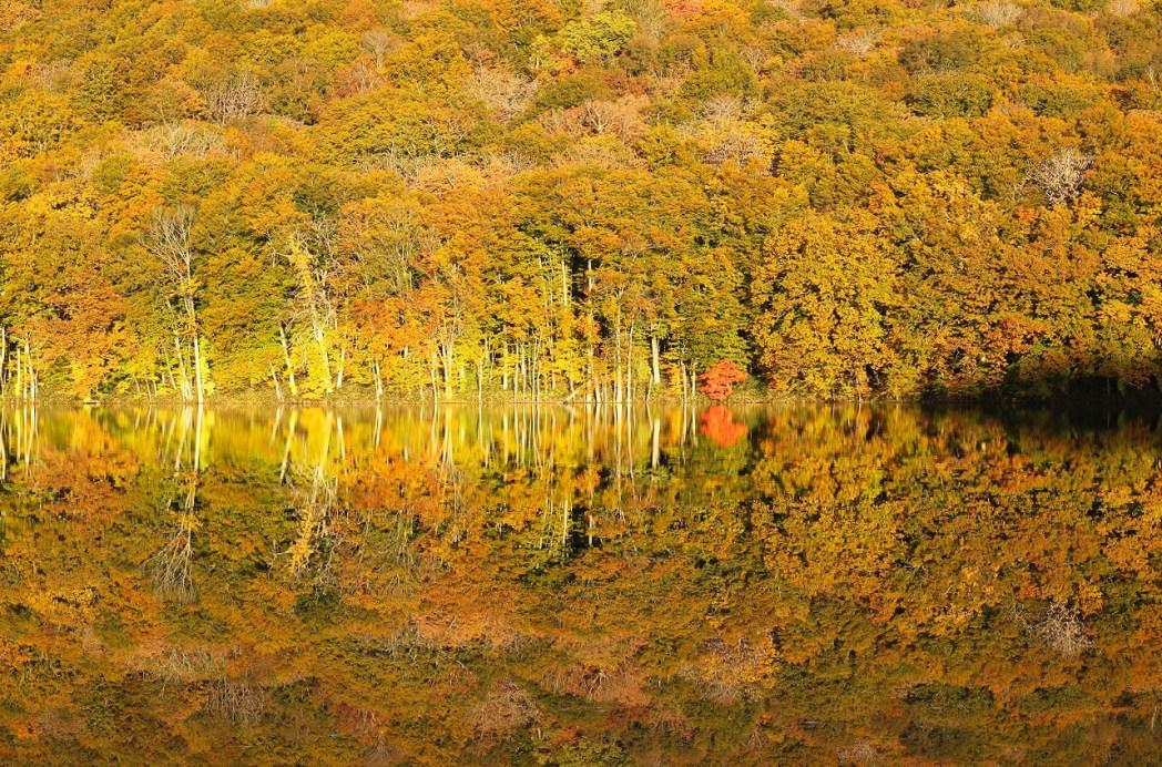 陽が反射して黄金に染まる蔦沼は絶景