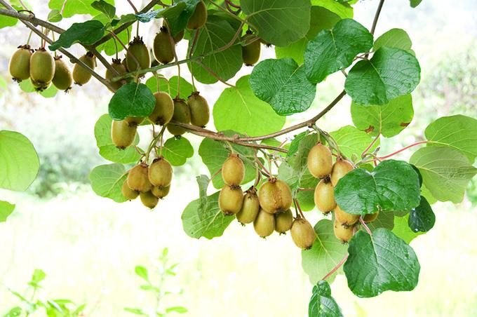 キウイフルーツの木