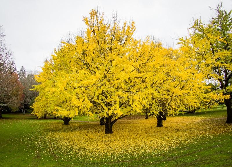 オークランド コーンウォールパークの紅葉