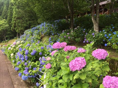 道沿いに約7万本の紫陽花が咲く