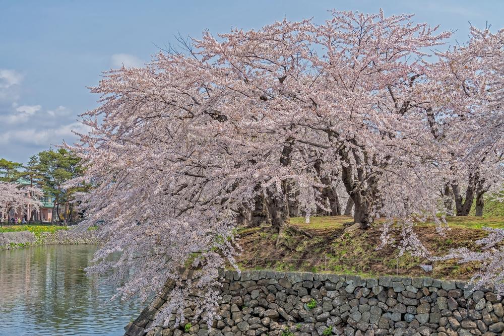 散り行く桜も美しい五稜郭公園
