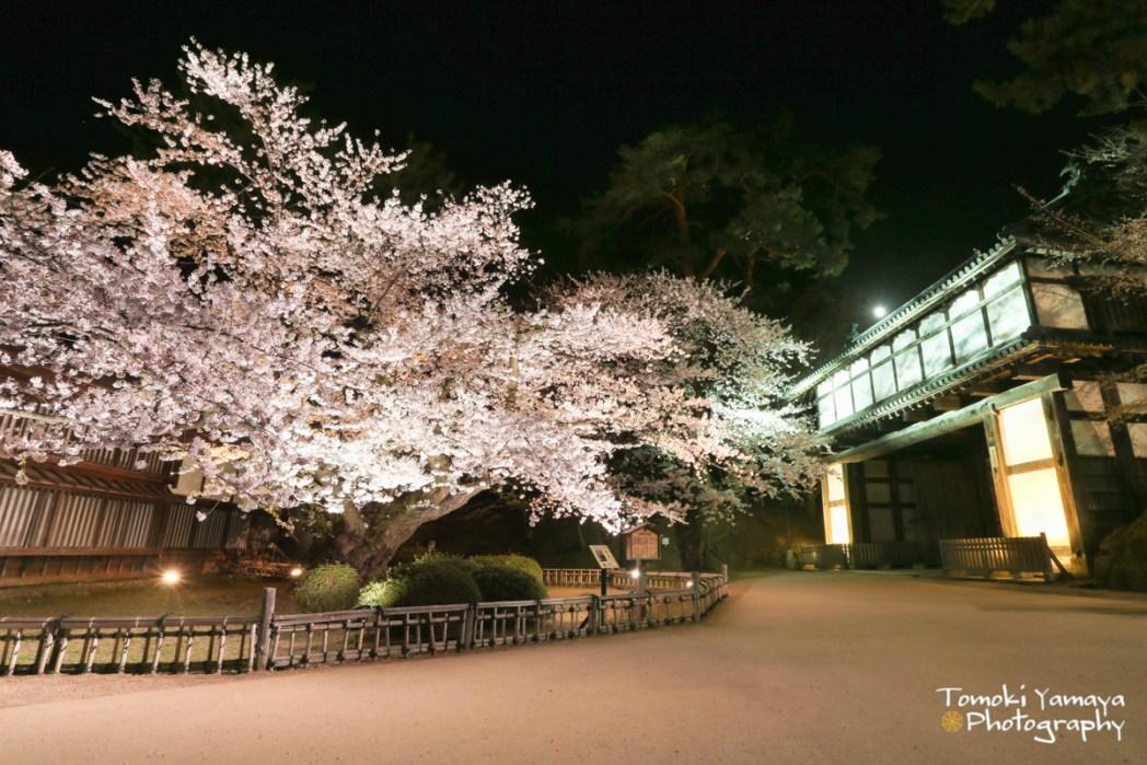現存する日本最古のソメイヨシノ