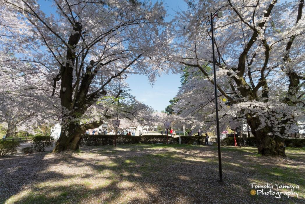 桜の枝がハート型を描くように組み合わさっている「ハートの桜」