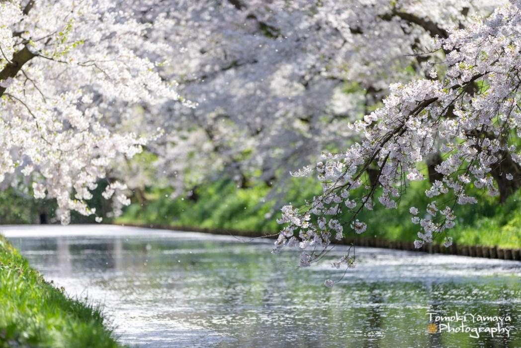 散った花弁が生み出す「花筏」の絶景