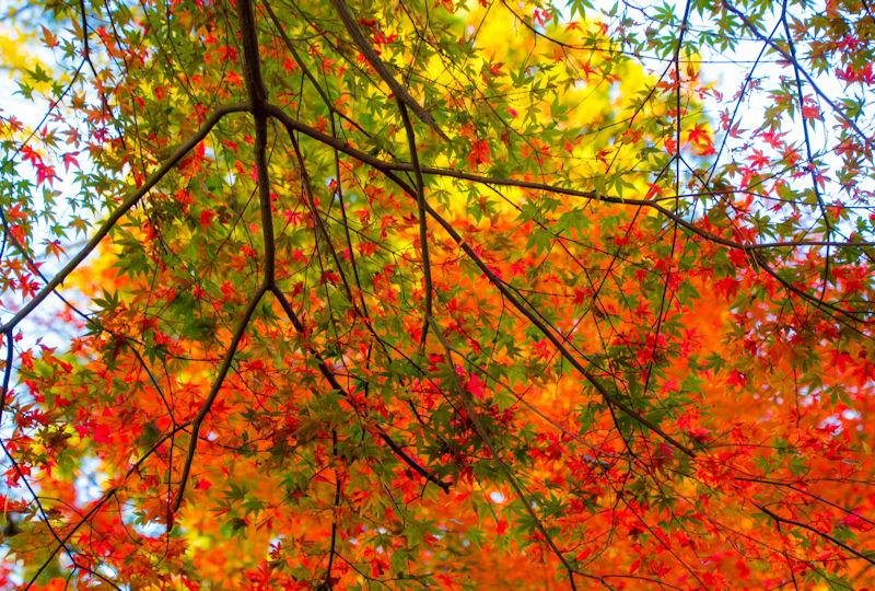 11月中旬頃から12月にかけて見頃を迎える兼六園の紅葉