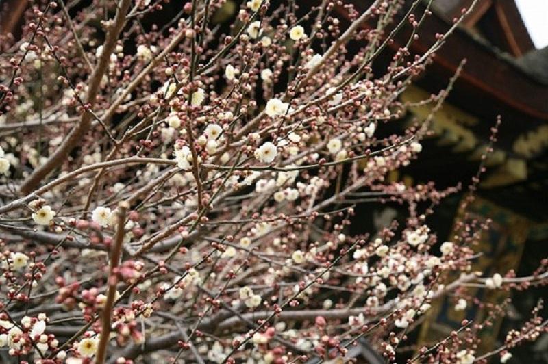 境内や梅苑には約50種類の梅の花が咲く