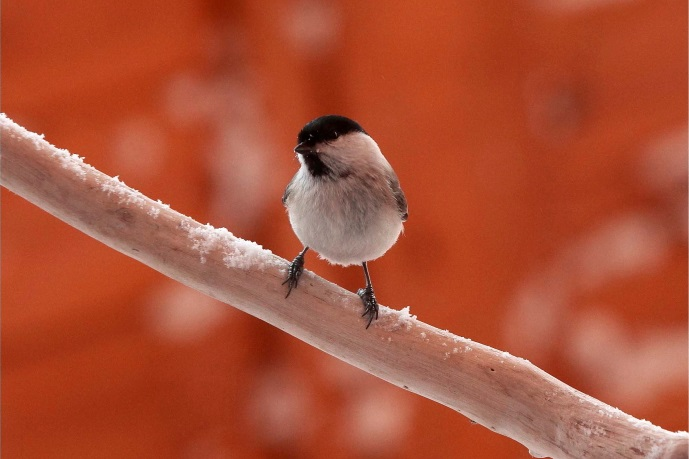 枝でひとやすみする小鳥