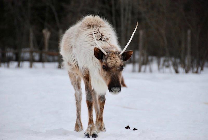 日本ではなかなかお目にかかることのない北極圏の動物
