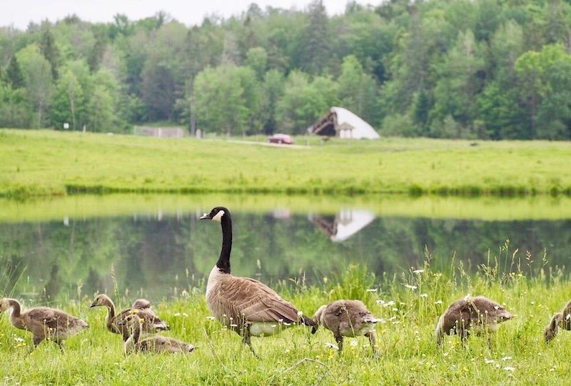 集団で子育てをするカナダグース