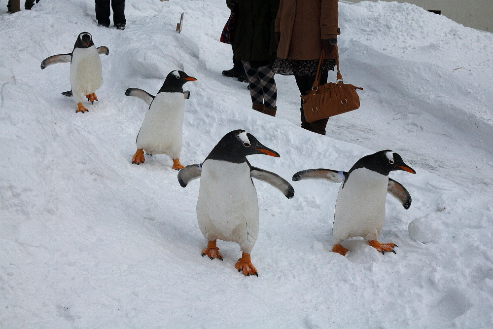 屋外を散歩するおたる水族館のペンギン