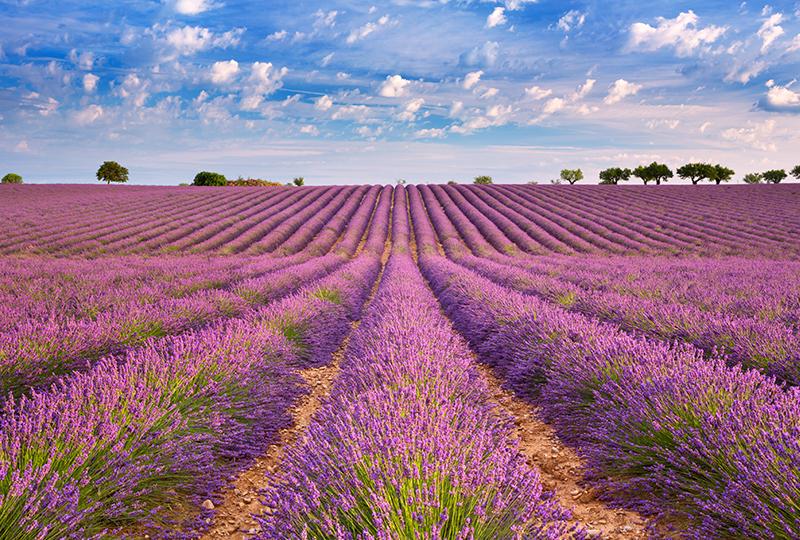 南仏プロバンスが一面鮮やかな紫色に染まります