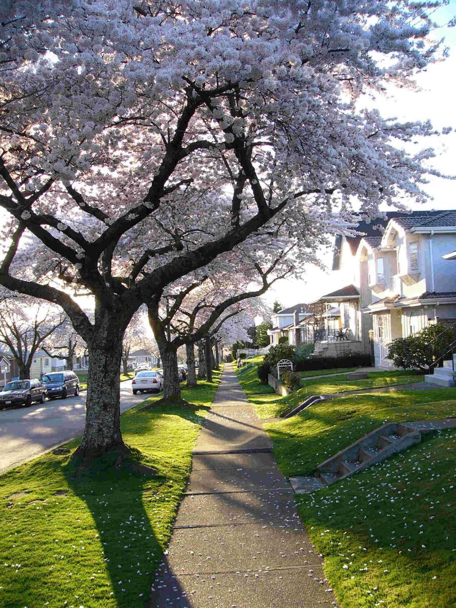 バンクーバー、桜