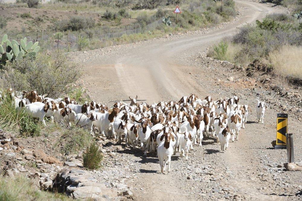 ヤギの群れ、南アメリカ