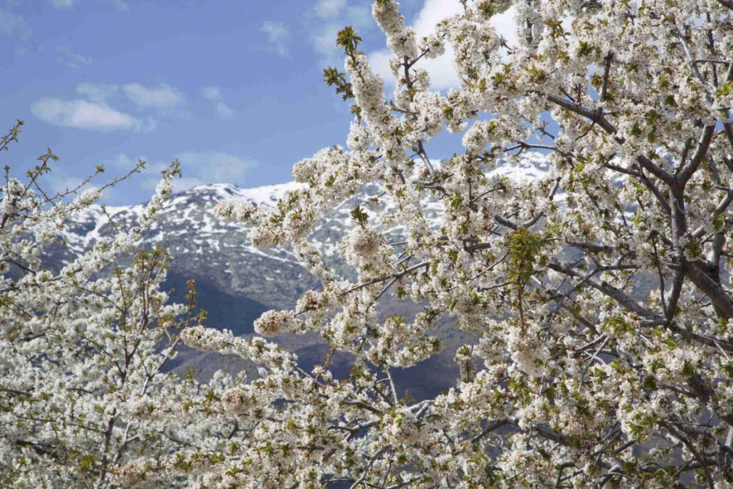 スペインのヘルテ谷、桜