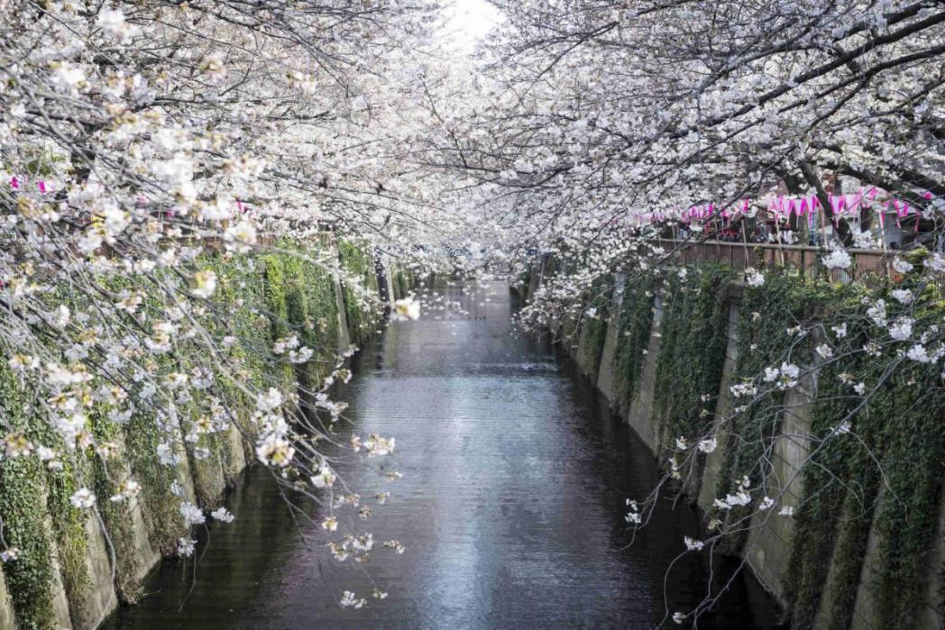 目黒川、桜