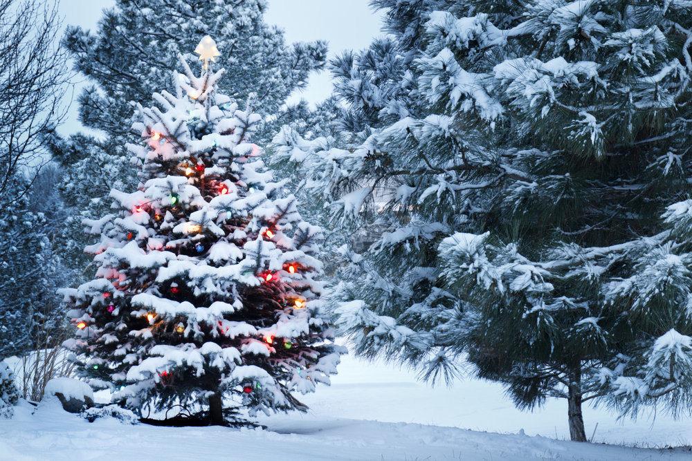 雪をかぶったクリスマスツリー