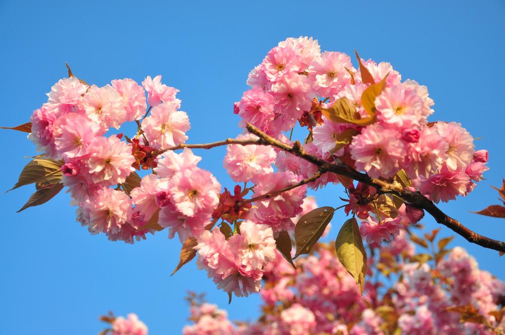 北海道では桜を追いかける旅もおすすめ