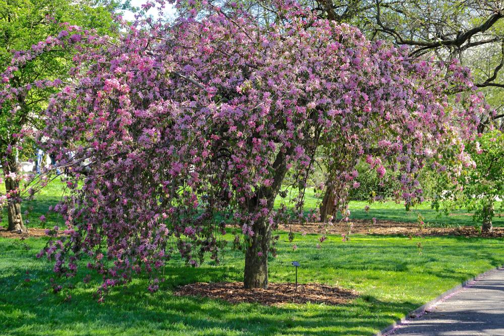 ブルックリン植物園 桜 ニューヨーク