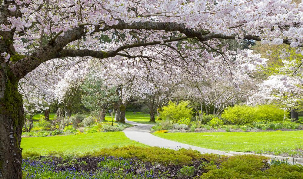 スタンレーパークのバンクーバー桜祭り(Vancouver Cherry Blossom Festival)