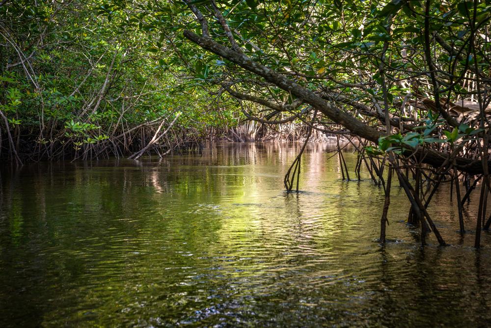 ビンタン島のマングローブの森