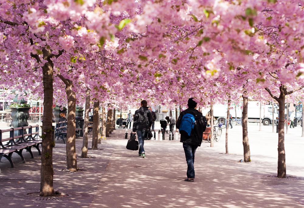 ストックホルム王立公園の桜