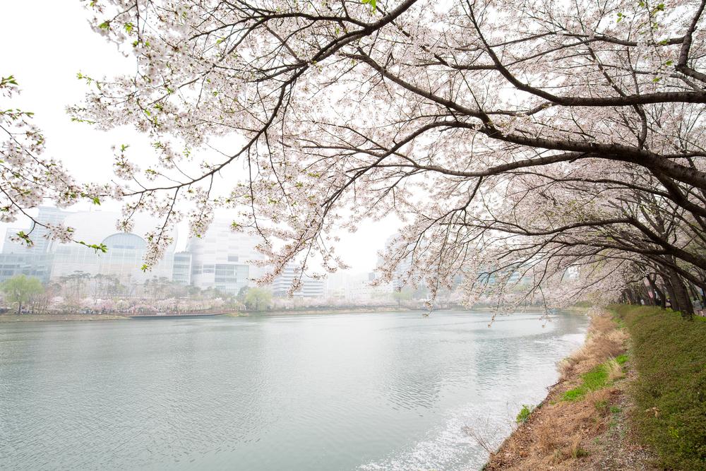 石村湖水(ソクチョン・ホス)桜祭り2