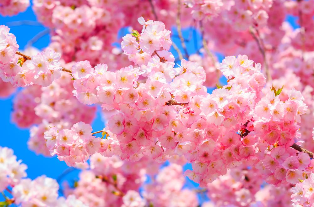 永登浦汝矣島(ヨンドゥンポ ヨイド)春の花祭り3