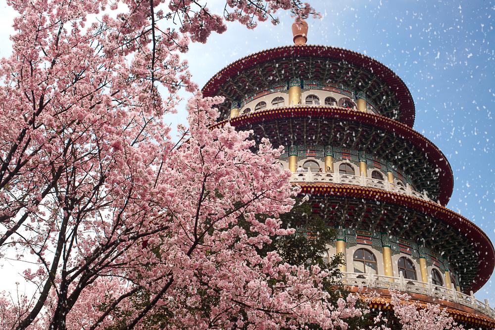 台北、淡水無極天元宮の吉野桜と山桜