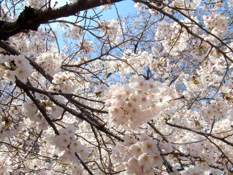 「桜の園」新宿御苑