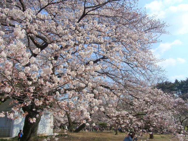 さまざまな種類の桜が咲き続ける新宿御苑
