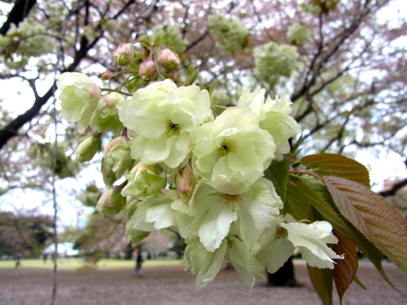 珍しい種類の八重桜も多く見られる