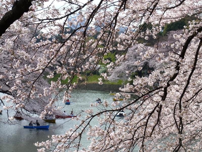 桜を間近に見ながらボートに乗れる