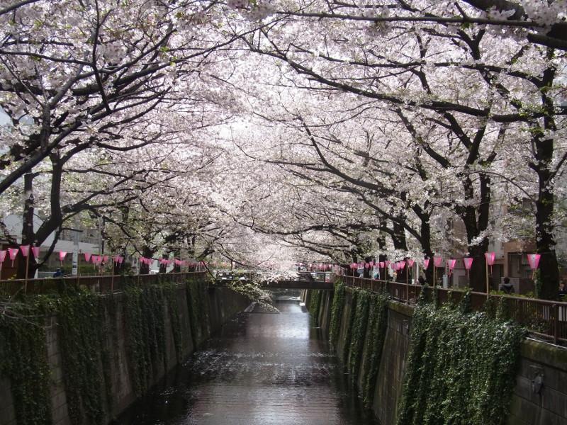 桜のトンネルが美しい目黒川