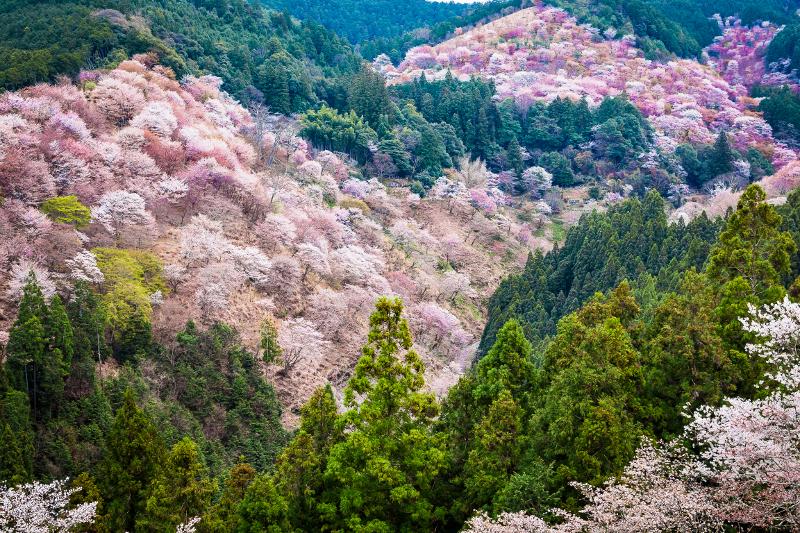 関西の桜の名所、吉野山