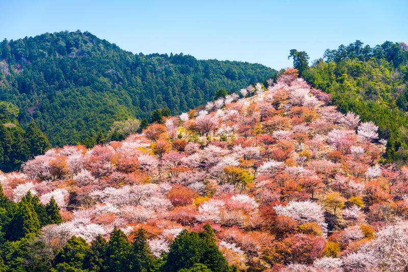山腹を埋め尽くす桜
